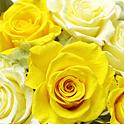 黄色のバラの花言葉