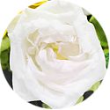 オレンジのバラの花言葉